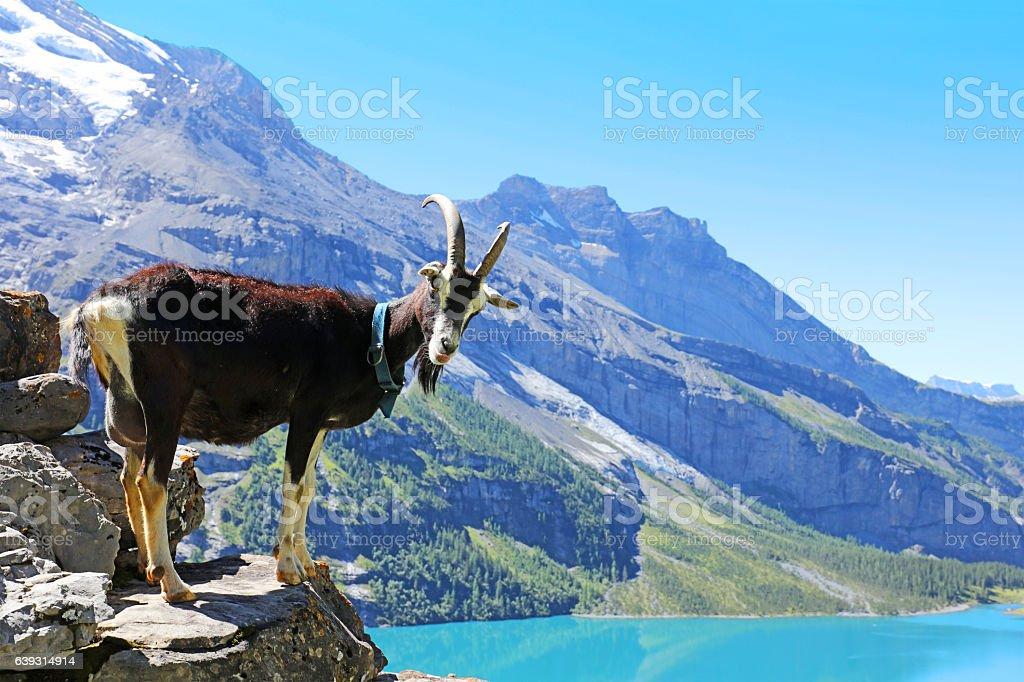 Mountain Goat at Oeschinen Lake in Switzerland stock photo