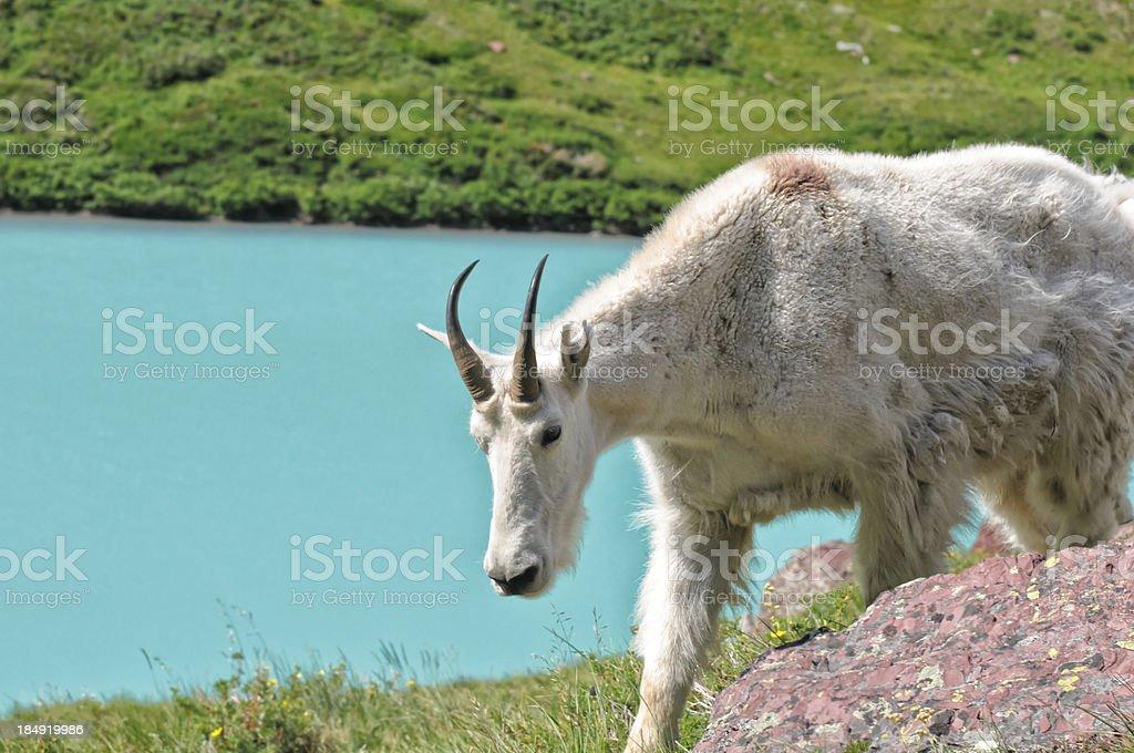 Mountain Goat at Scenic Alpine Lake royalty-free stock photo