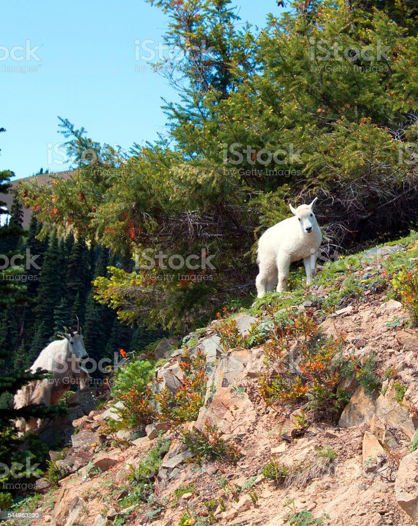 Mountain Goat - Baby kid climbing up Hurricane Ridge path stock photo