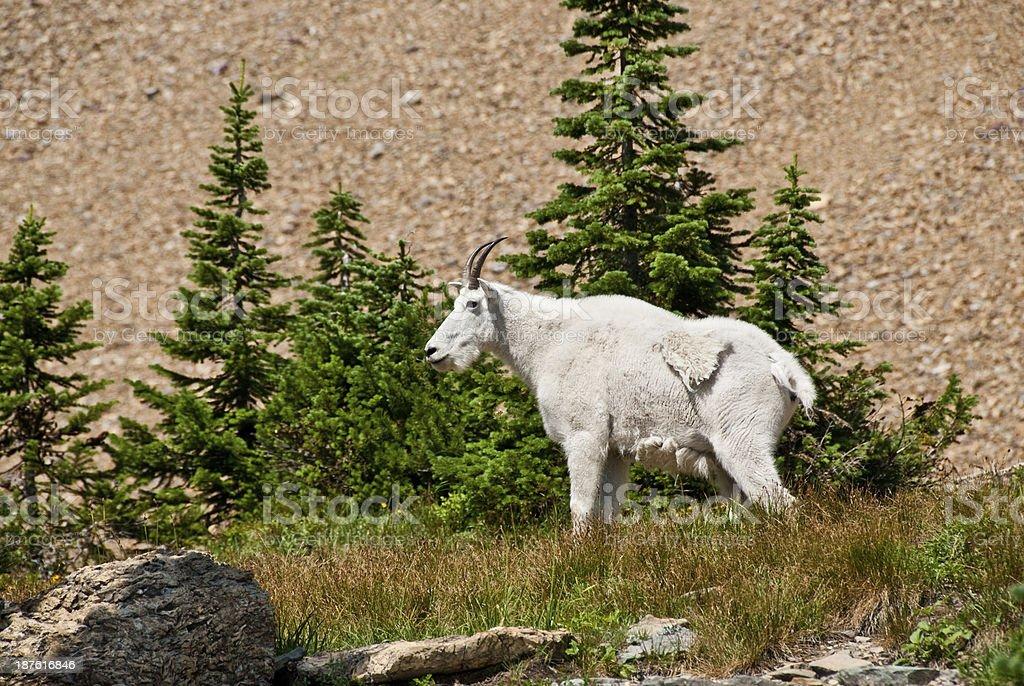 Mountain Goat Beneath a Talus Slope royalty-free stock photo