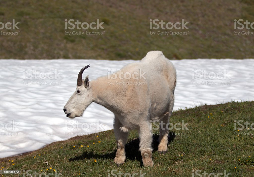 Mountain Goat  Billy (Oreamnos Americanus) on Hurricane Ridge snowfield stock photo