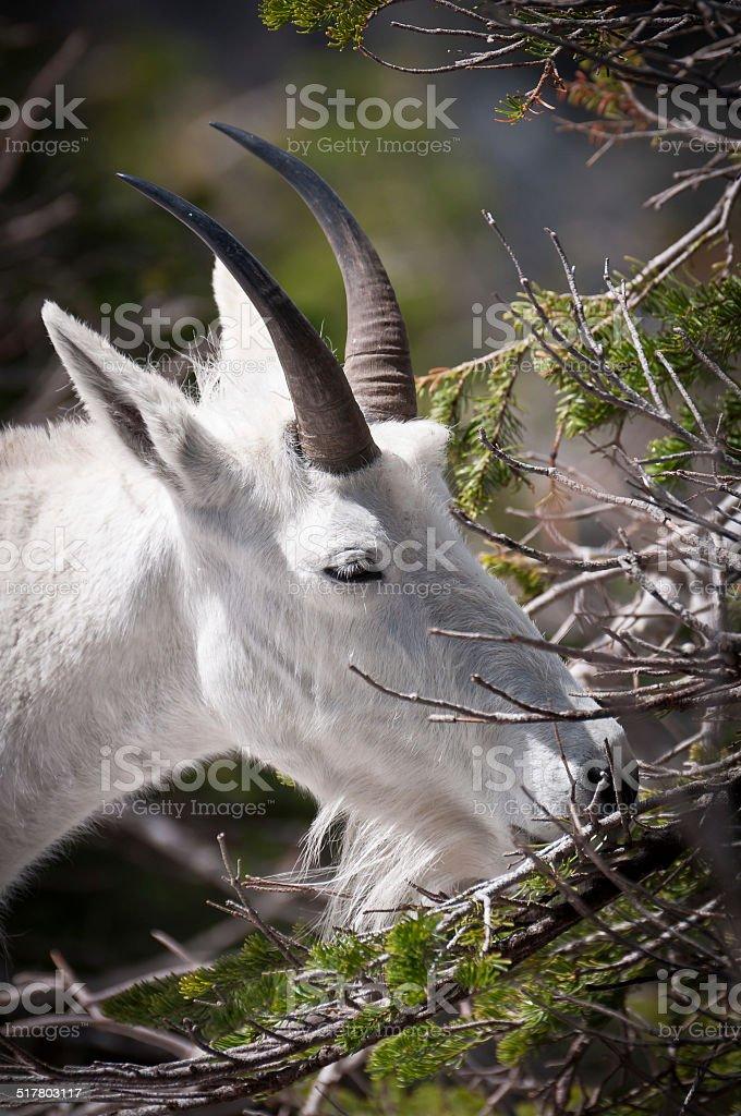 Mountain goat chewing fur-needles stock photo