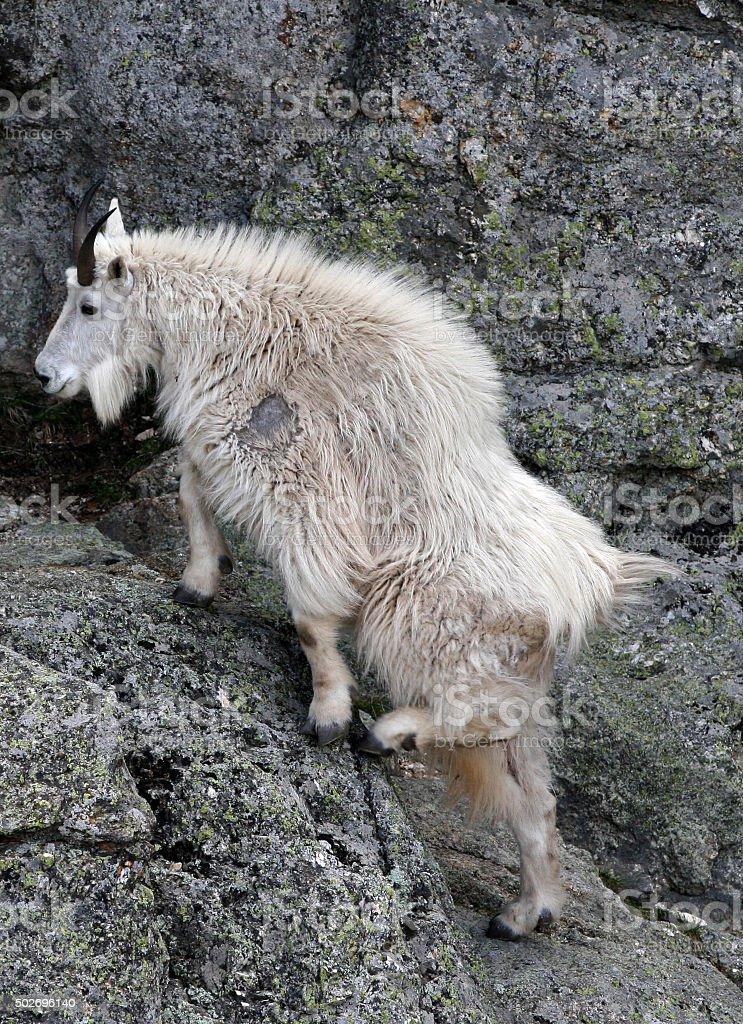 Mountain Goat climbing Harney Peak ledges stock photo
