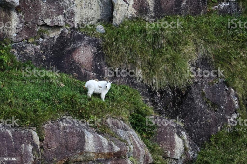 Mountain goat climbing in steep cliffs, Kenai Fjords National Park, Alaska stock photo