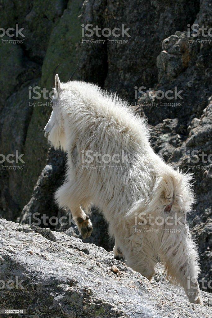 Mountain Goat Climbing stock photo