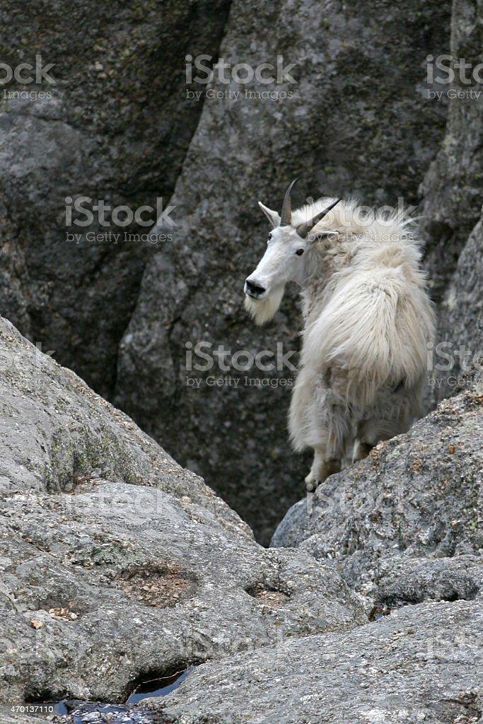 Mountain goat descending Harney Peak - one last look stock photo