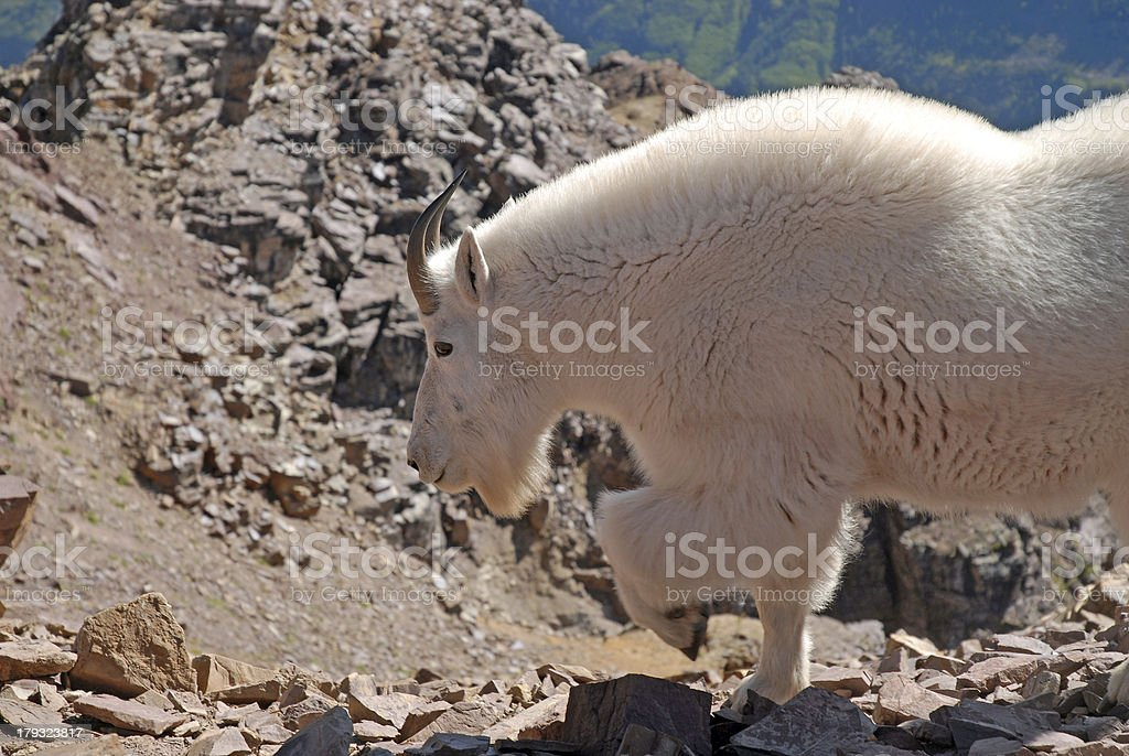 Mountain Goat Elk Range, Colorado royalty-free stock photo