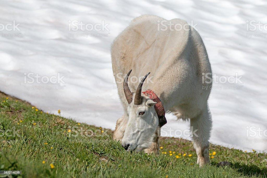 Mountain Goat (Oreamnos Americanus) grazing next to Hurricane Hill snowfield stock photo