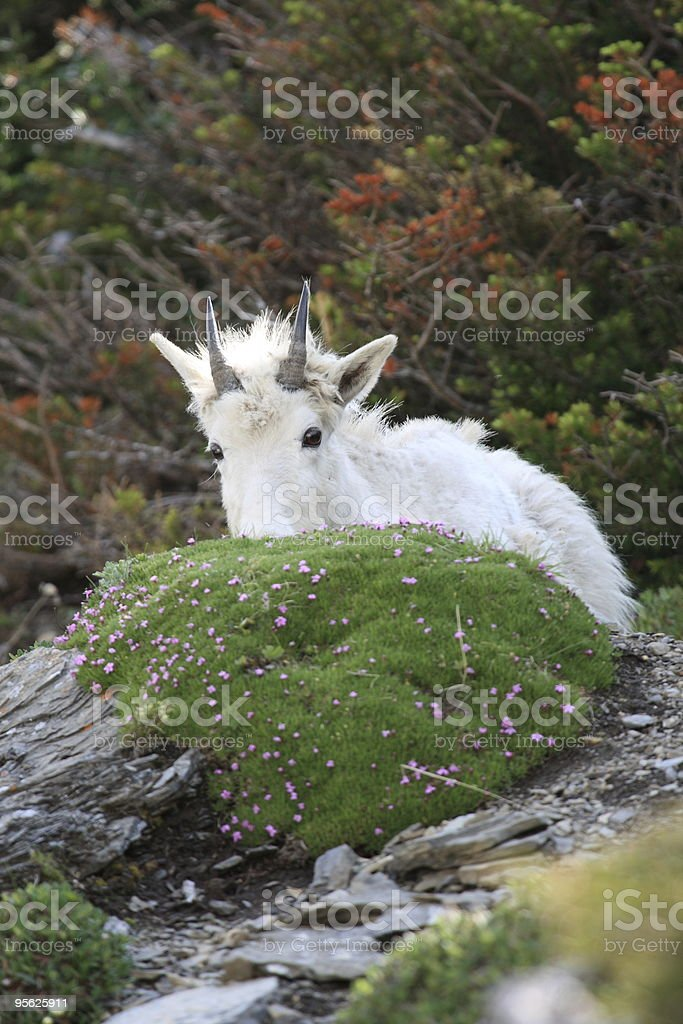 Mountain Goat Hide and Seek royalty-free stock photo