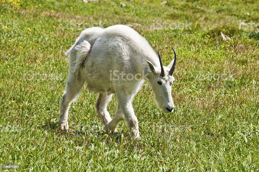 Mountain Goat in an Alpine Meadow royalty-free stock photo
