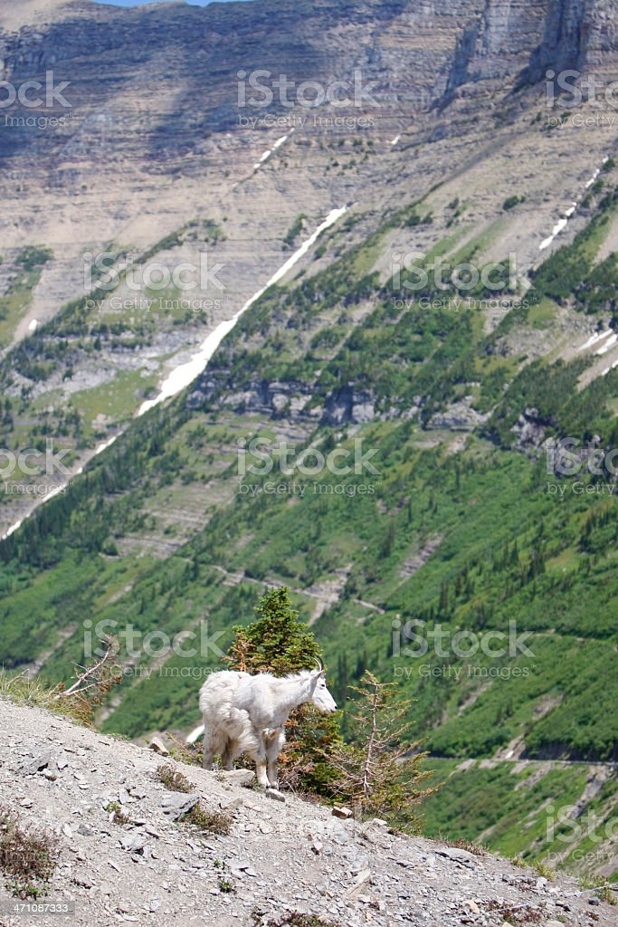 Mountain Goat in Glacier National Park royalty-free stock photo