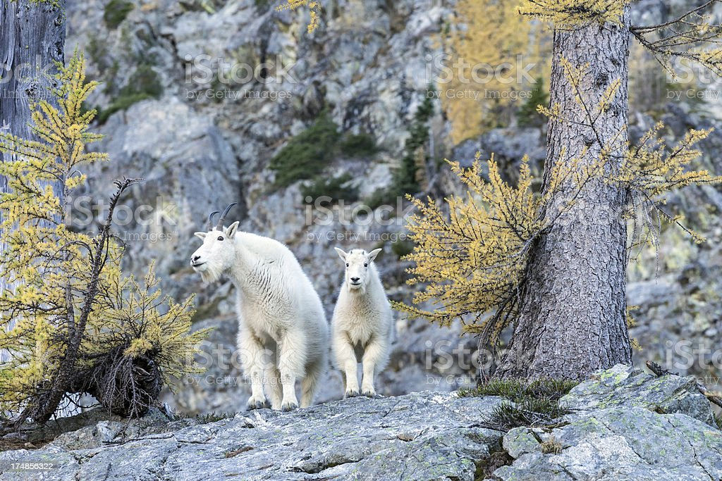 Mountain Goat in North Cascades royalty-free stock photo