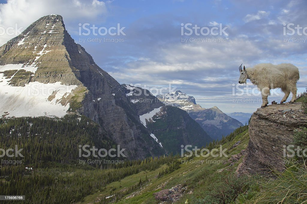 Mountain Goat in the Rocky Mountains in Glacier National Park royalty-free stock photo