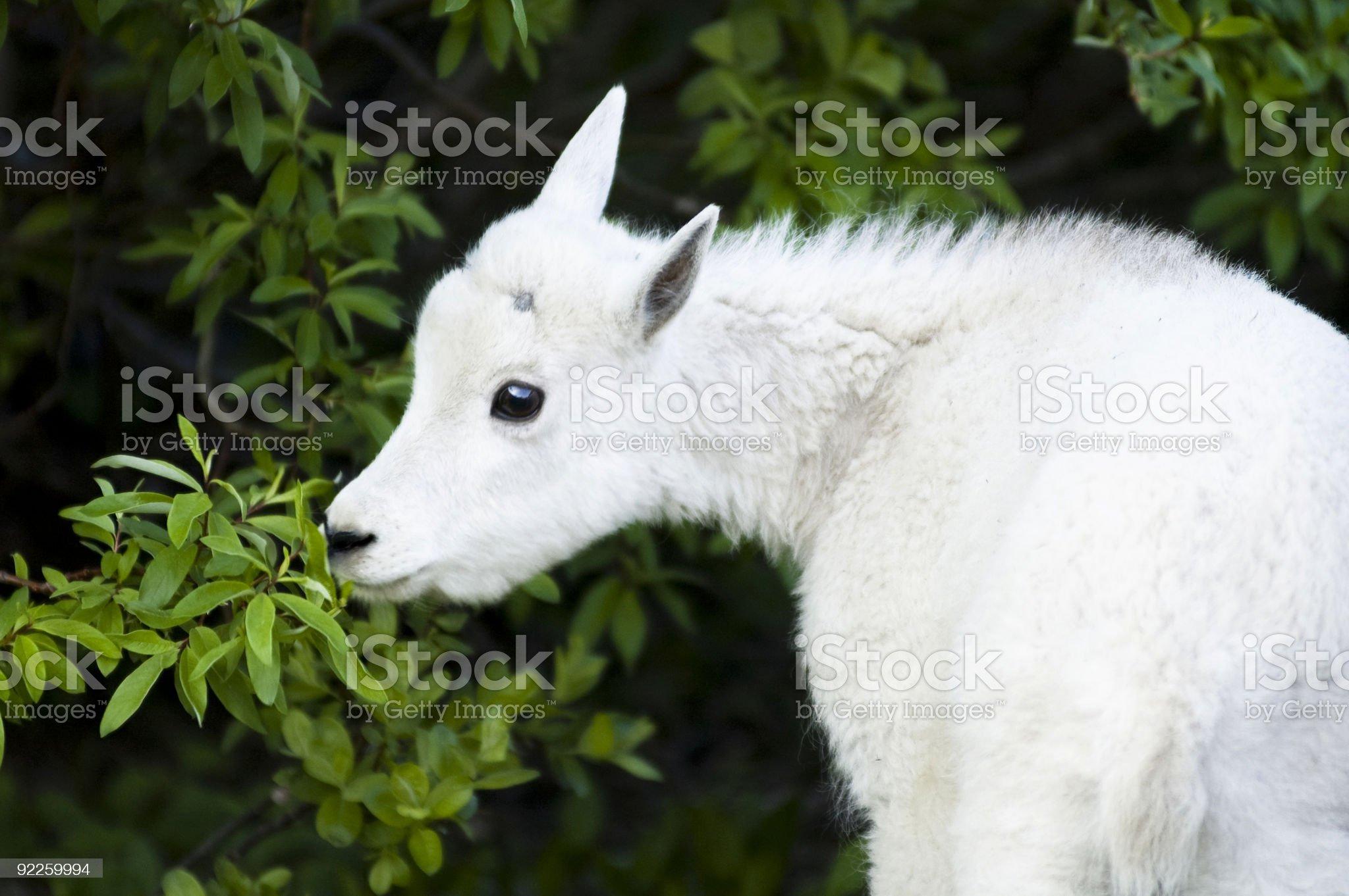 mountain goat kid foraging royalty-free stock photo
