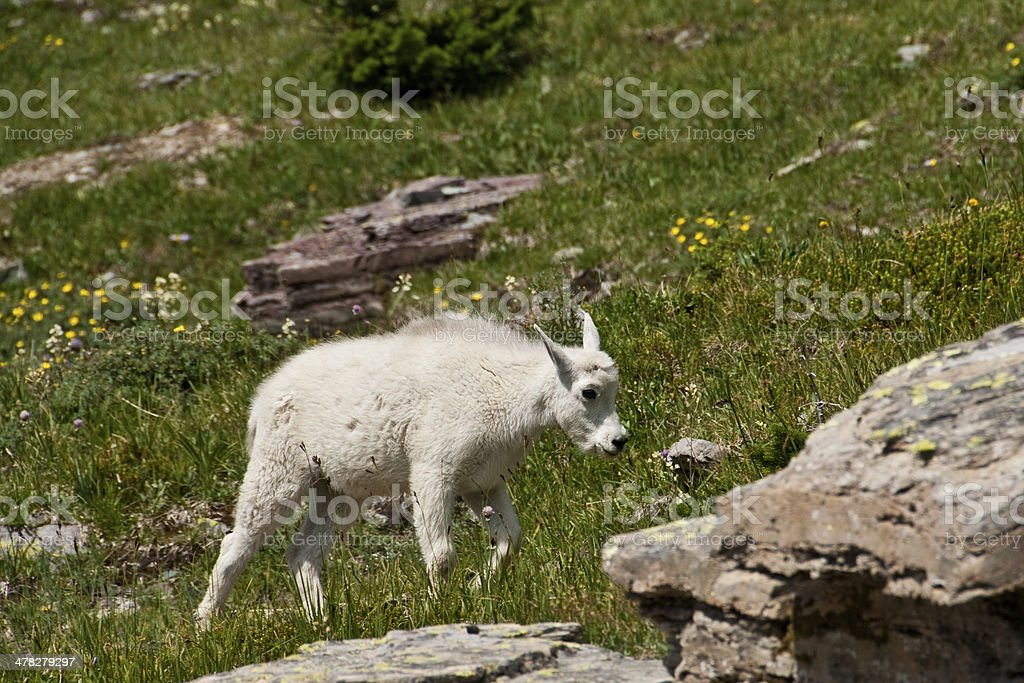 Mountain Goat Kid in an Alpine Meadow royalty-free stock photo