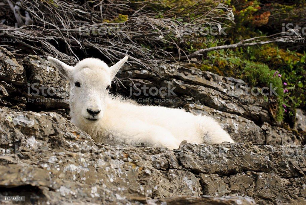 Mountain Goat Kid royalty-free stock photo