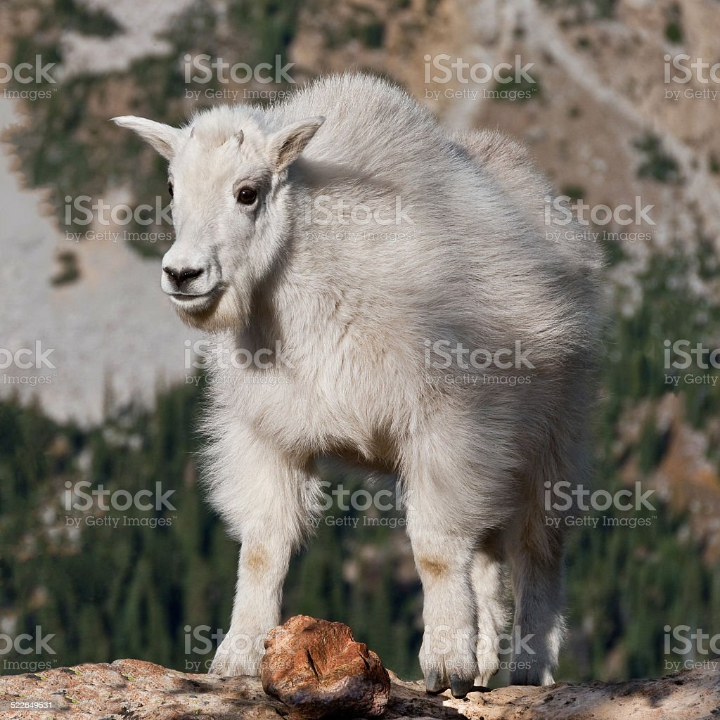 Mountain Goat Kid Standing on a Boulder stock photo