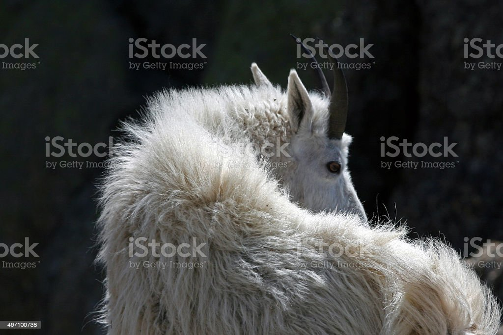 Mountain Goat looking over his shoulder stock photo