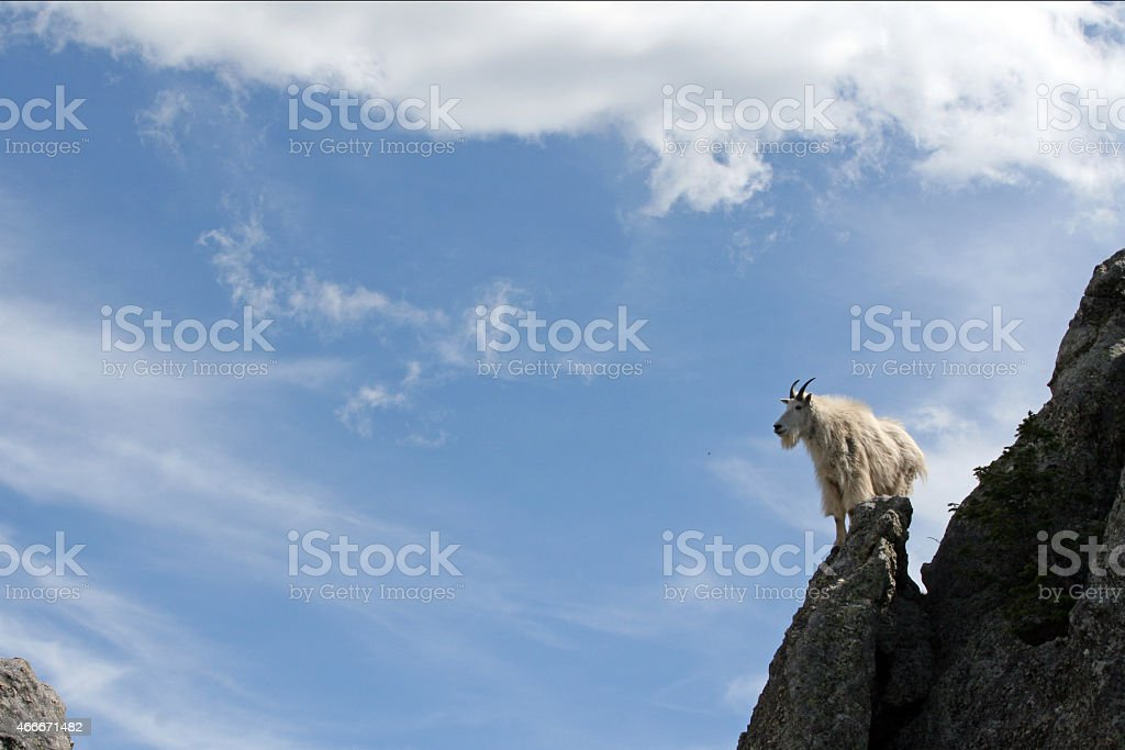 Mountain Goat looking to the sky stock photo