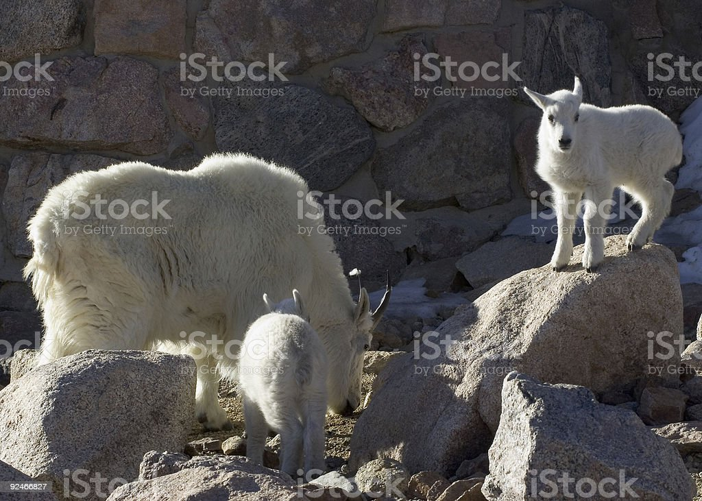 Mountain Goat Mother and Two Babies at Mount Evans, Colorado stock photo