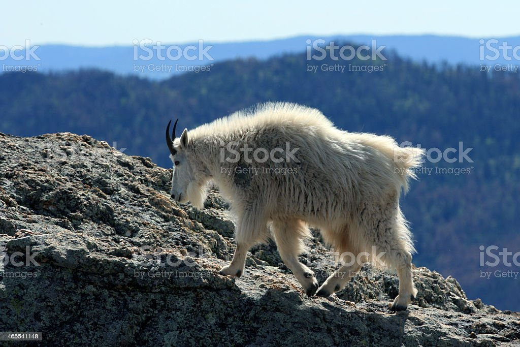 Mountain Goat on Harney Peak Ridge stock photo
