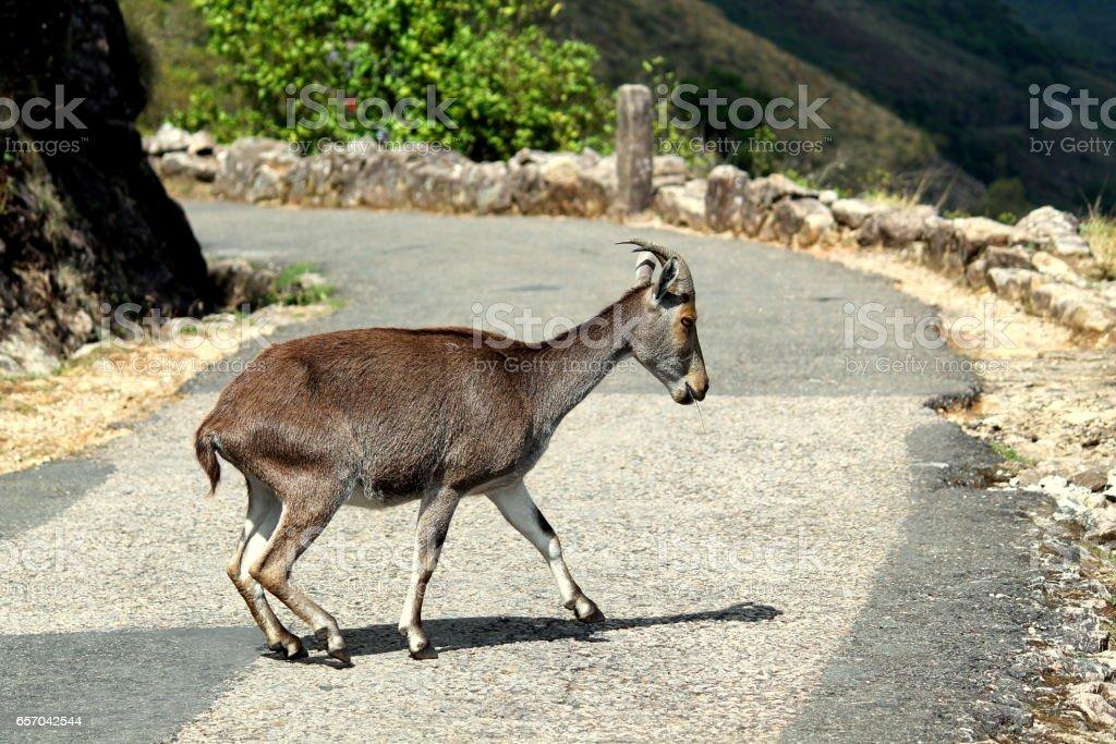 A mountain goat on street stock photo
