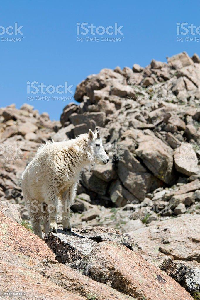 Mountain Goat on the Mount Massive Summit stock photo