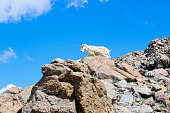 Mountain Goat  on the Mount Massive Summit
