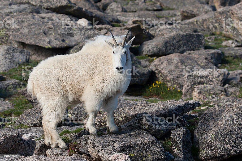 Mountain Goat on the Rocks stock photo