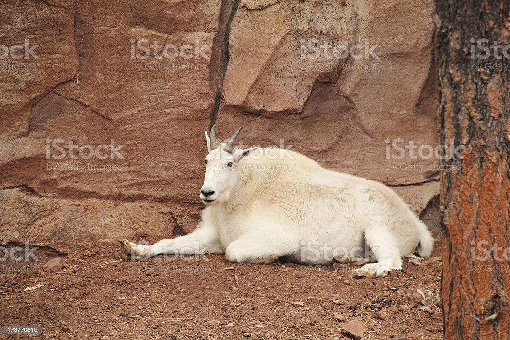 Mountain Goat  Oreamnos Americanus royalty-free stock photo