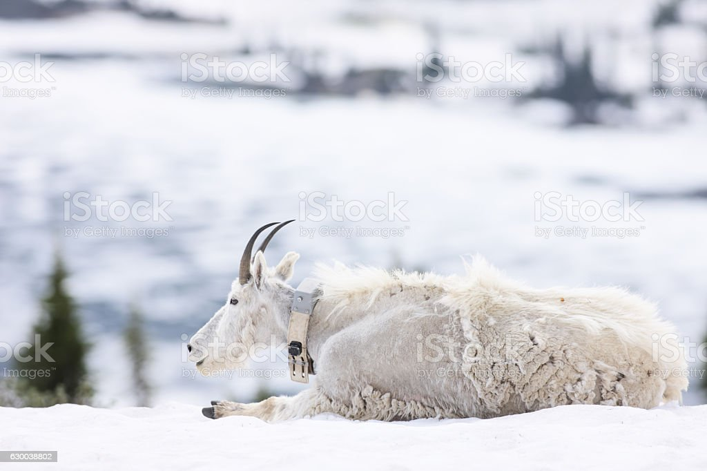Mountain Goat Oreamnos americanus Radio Collar stock photo