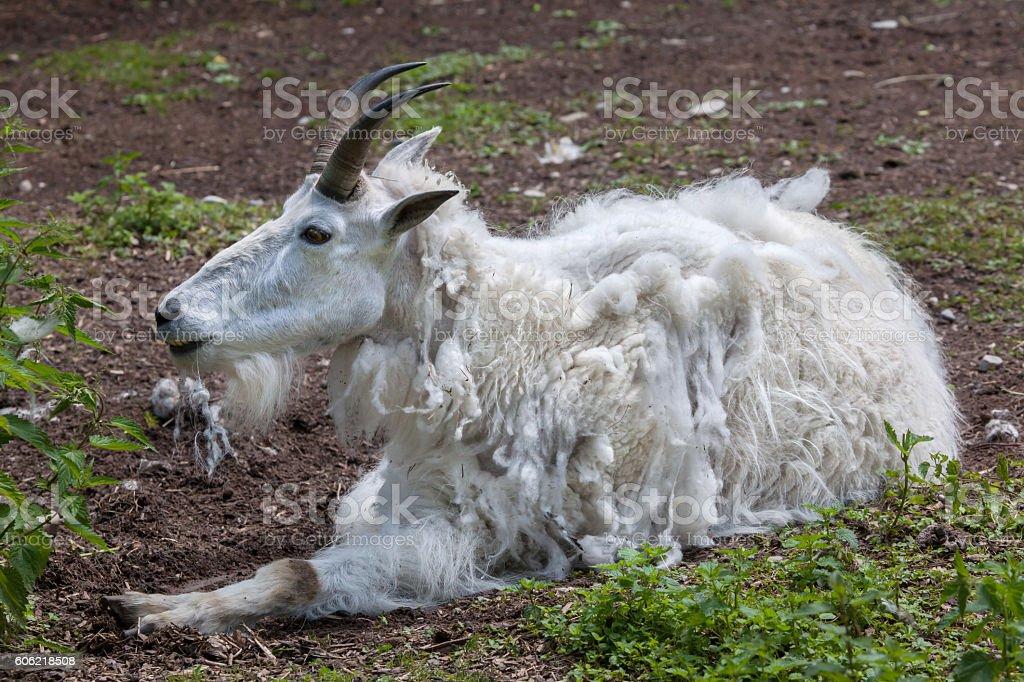 Mountain goat (Oreamnos americanus) stock photo