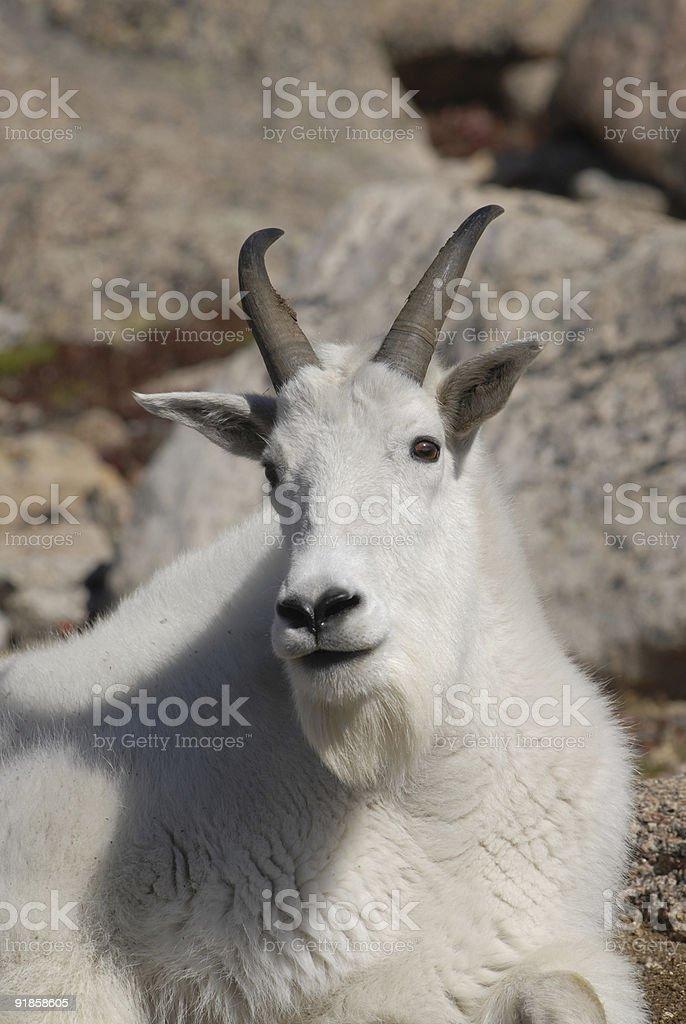 Mountain Goat stock photo