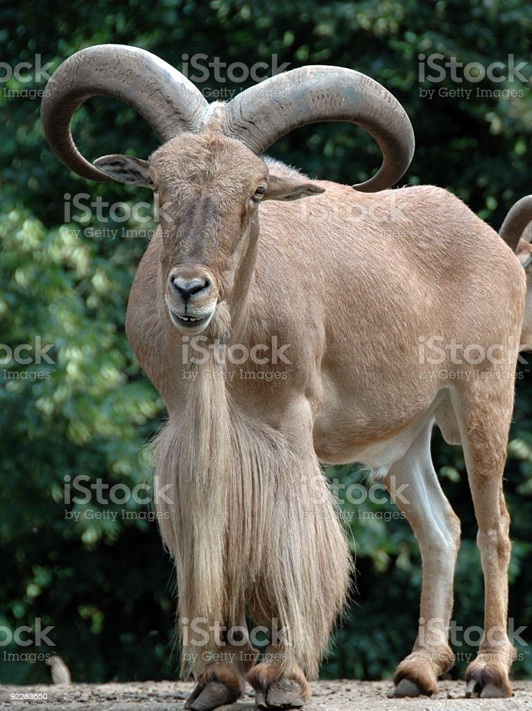 mountain goat royalty-free stock photo