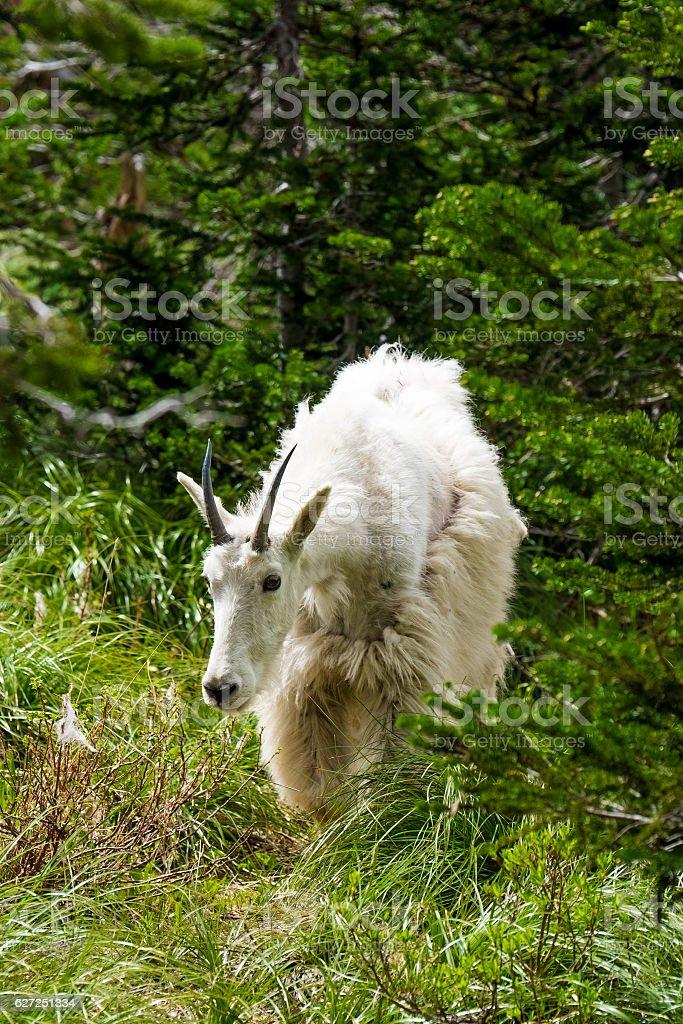 Mountain Goat Profile stock photo