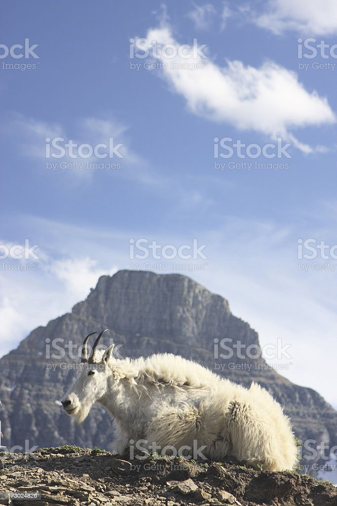 Mountain Goat Ram Oreamnos americanus royalty-free stock photo