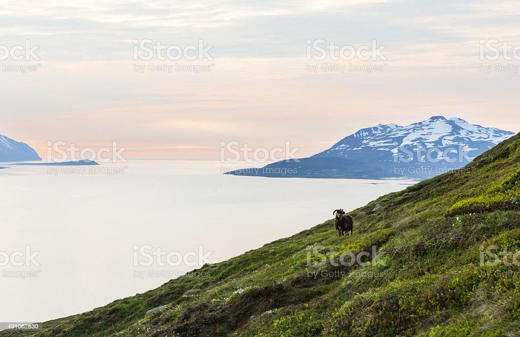 Mountain goat revel sunset stock photo