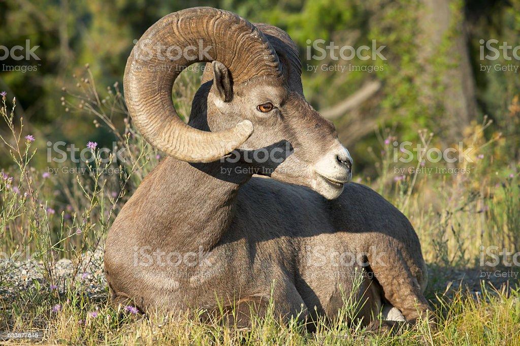 Mountain goat sitting in the ground. Alberta. Canada stock photo