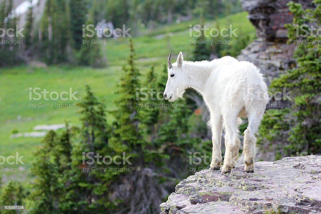 Mountain Goat standing on rocky ledge stock photo