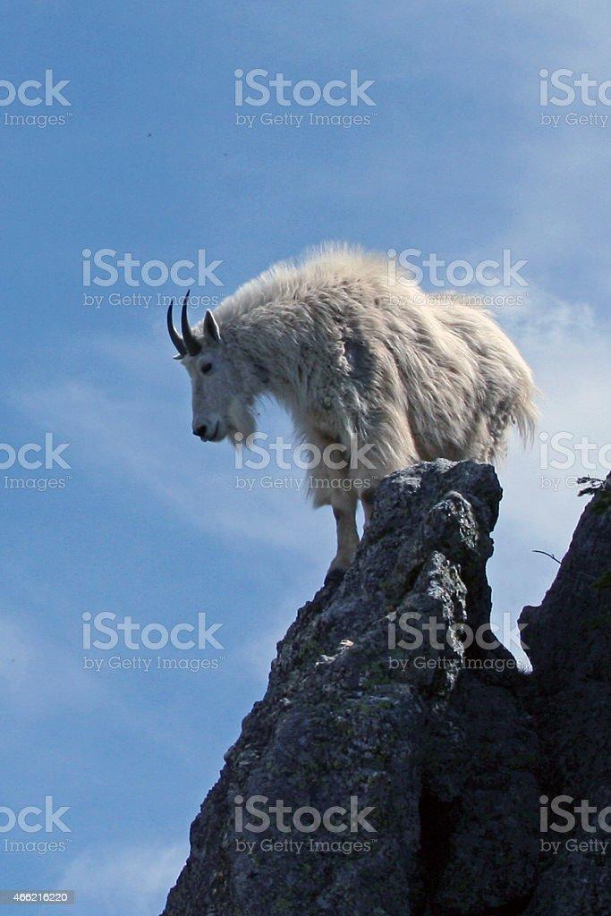 Mountain Goat surveying his domain stock photo