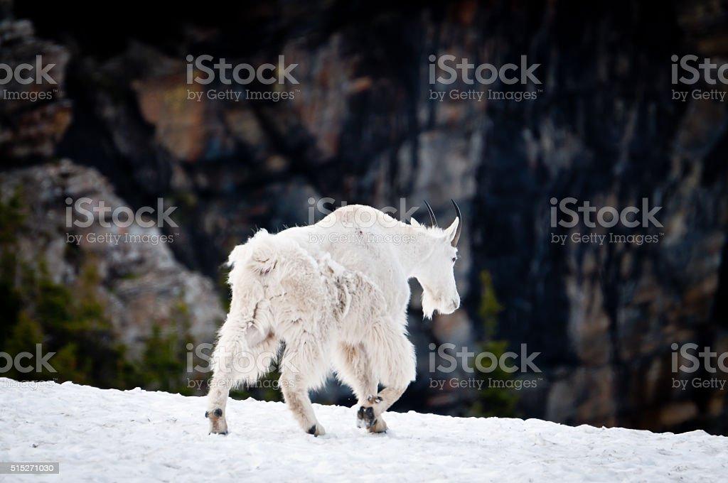 Mountain goat walking away stock photo