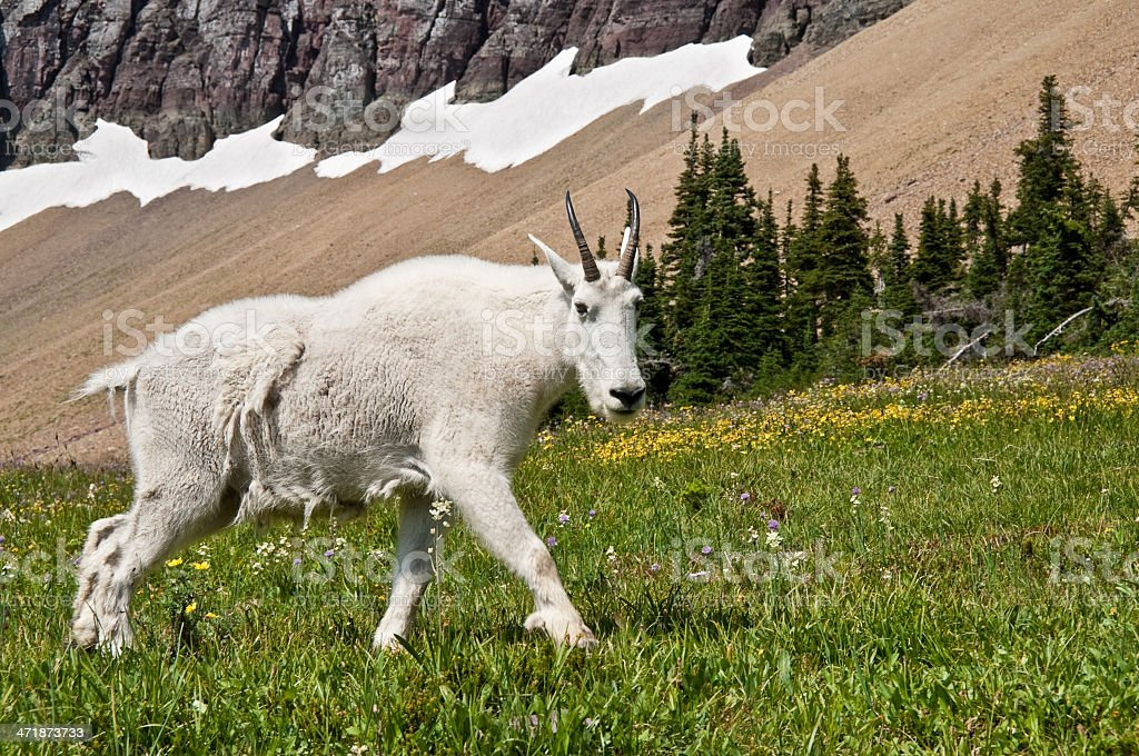 Mountain Goat Walking Beneath a Talus Slope royalty-free stock photo