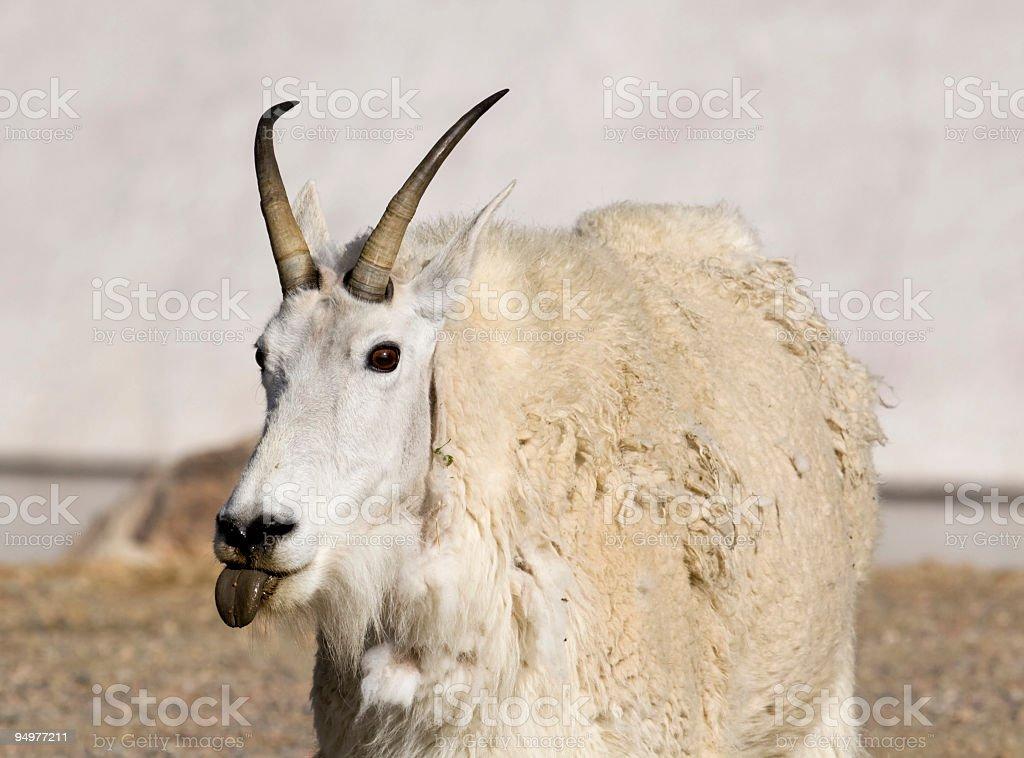 Mountain Goat with Attitude stock photo