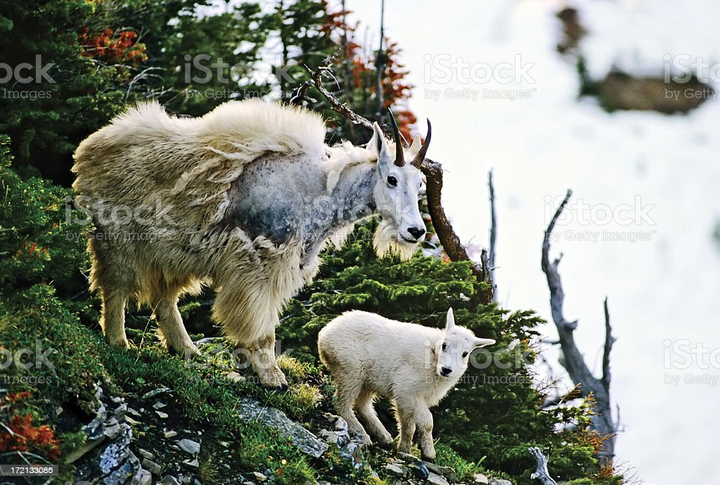 Mountain Goat with Baby stock photo
