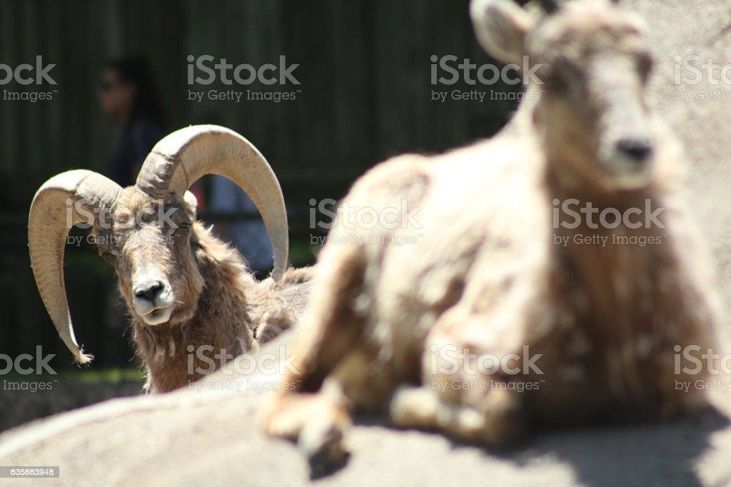 Mountain goat with big horns looks at his mate stock photo