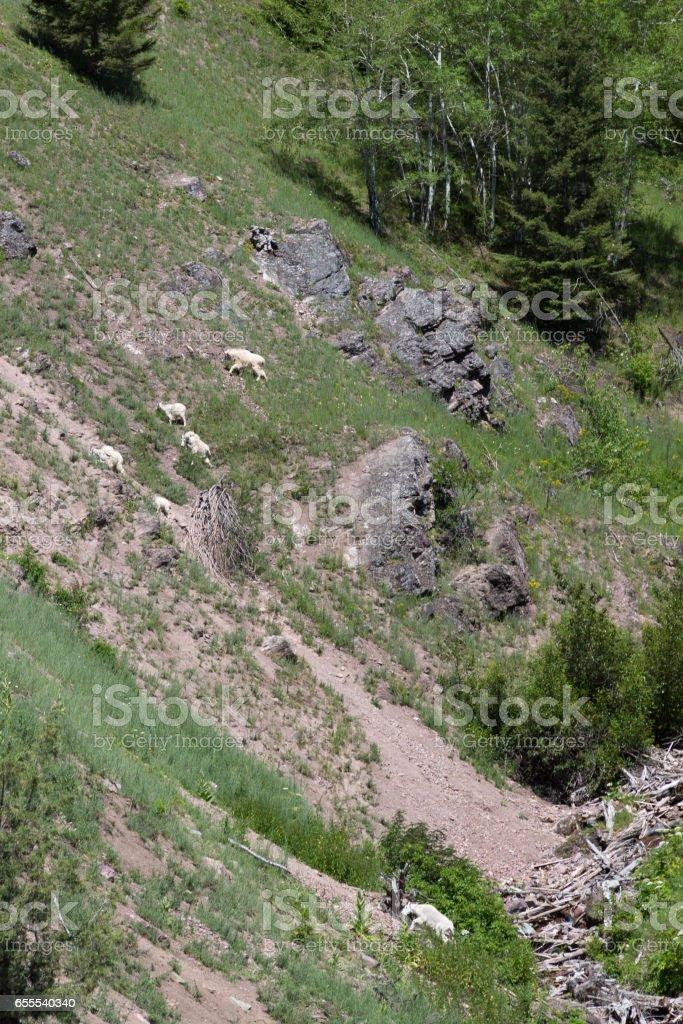Mountain Goats climbing steep hillside stock photo