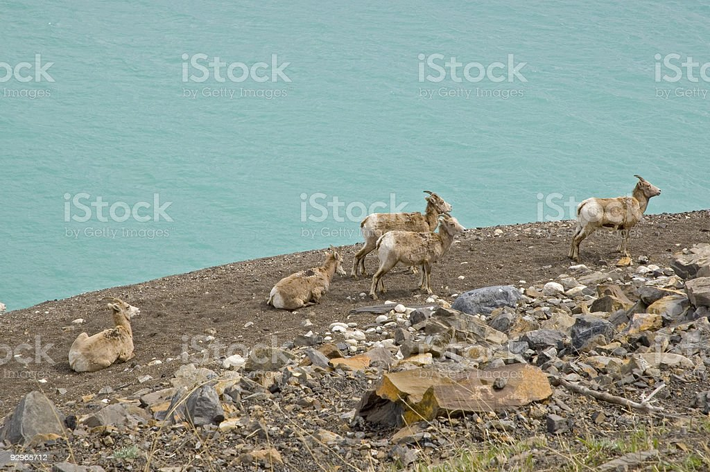 Mountain goats grazing by a Banff Lake royalty-free stock photo