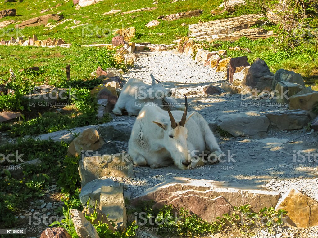 Mountain goats in Glacier National Park stock photo