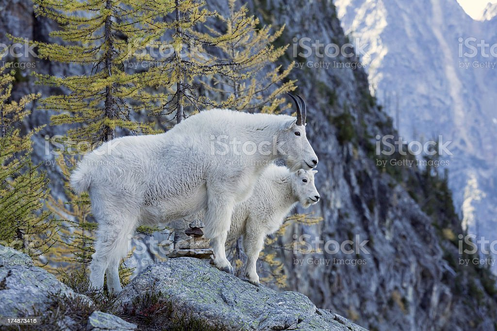 Mountain Goats in North Cascades royalty-free stock photo