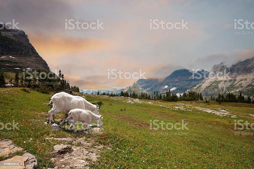 Mountain Goats Nanny and Kid stock photo